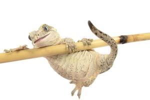 Gargoyale geck klampt zich vast aan bamboe