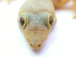 Lizard closeup photo