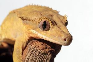 Caledonian crested gecko on white background