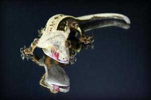 gecko con cresta de pestañas en el espejo