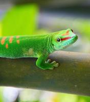 Green gecko photo