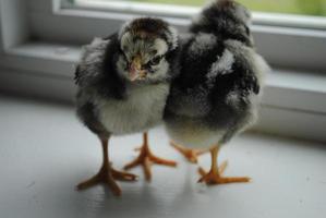 Wyondotte Chicks photo
