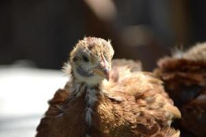 pollo rojo de rhode island