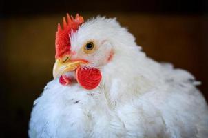 White hen photo