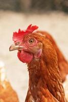 Primer plano de pollo al aire libre en gallinero. foto