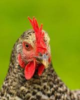 Head of a chicken