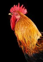 Rooster on black background. Macro photo