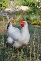 Chicken in garden