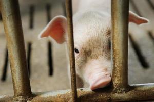 piglets in modern farm