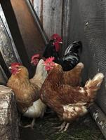 pollo y gallo foto