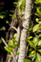Changeable lizard photo