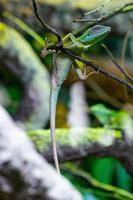 Lagartija verde foto