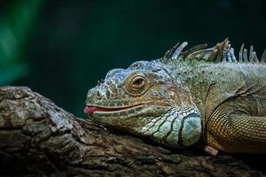 Grüner Leguan foto