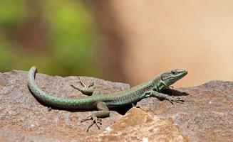 lagarto verde en el sol