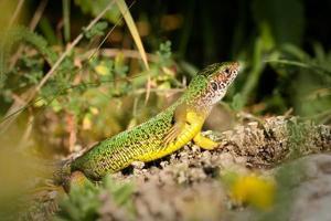 Green lizard, Lacerta viridis, Slovak Karst, Eastern Slovakia.