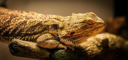 Bearded Dragon is checking you out.