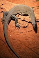 Dragon de Komodo foto