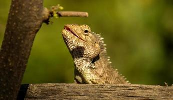 Lizard ready to hunt with close view photo