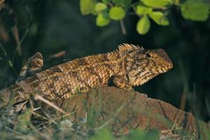lagarto de jardín oriental foto