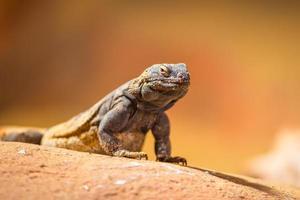 Portrait of eastern collared lizard
