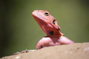 Pink Lizard Portrait photo
