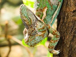 camaleón velado foto