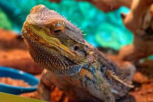 colorful bearded dragon behind glass