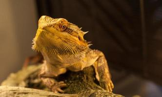 el dragón barbudo te está mirando. foto