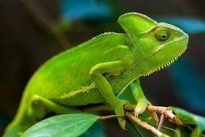 A close-up shot of a green chameleon holding on to a branch