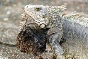 Primer plano de iguana grande foto