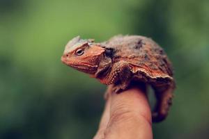 Horny Toad photo
