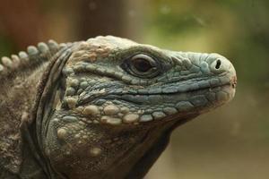Blue iguana (Cyclura lewisi)