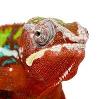 camaleón pantera furcifer pardalis - ambilobe (18 meses) foto