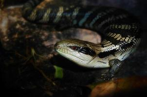 lagarto lengua azul foto
