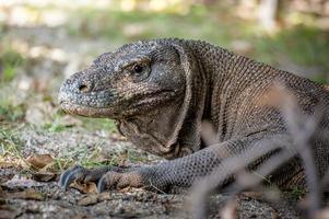 dragão de komodo selvagem
