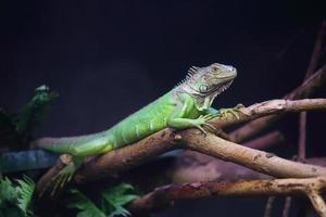 Iguana on branch photo