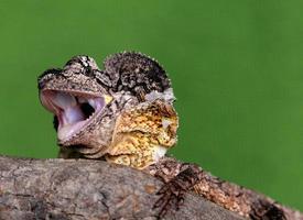 Australia frilled necked lizard