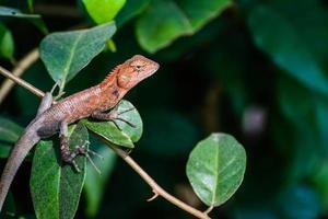 lagarto camaleón marrón aterrador foto