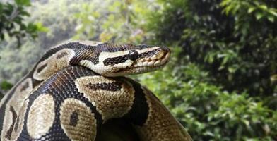 Close-up view of a royal python