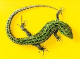 The Sand Lizard