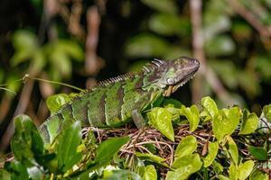 iguana verde en el parque nacional tortuguero