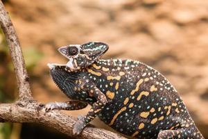 lagarto camaleón velado foto