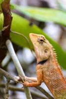 Brown thai lizard on the tree
