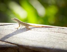 primer plano de un lagarto, jamaica foto