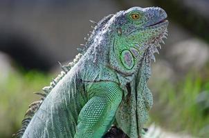 iguane vert femelle