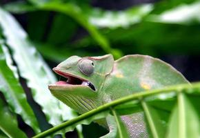 Chameleon camouflages itself