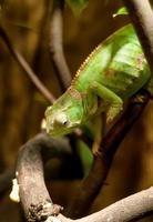 Green chameleon on the branch