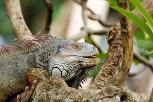 iguana lizard climbing a tree in the wild photo