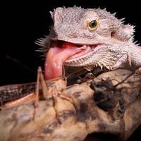 caza del dragón barbudo foto