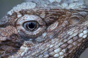 cabeza de dragón barbudo foto
